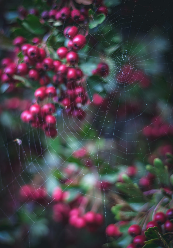 hawthorn berries on tree with a spider web and dark background