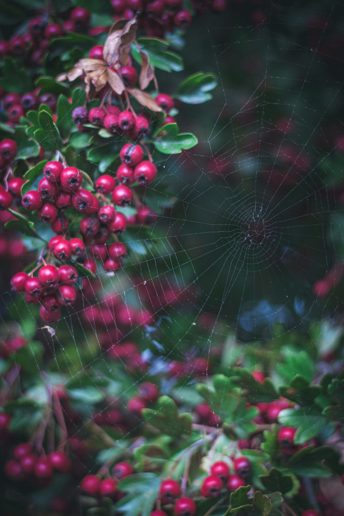 hawthorn berries with spiderweb