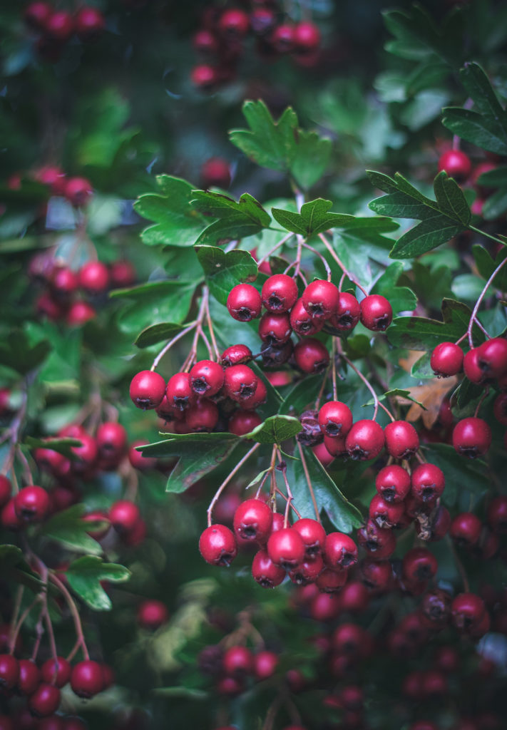 close up of red hawthorn berries on a hawthorn tree