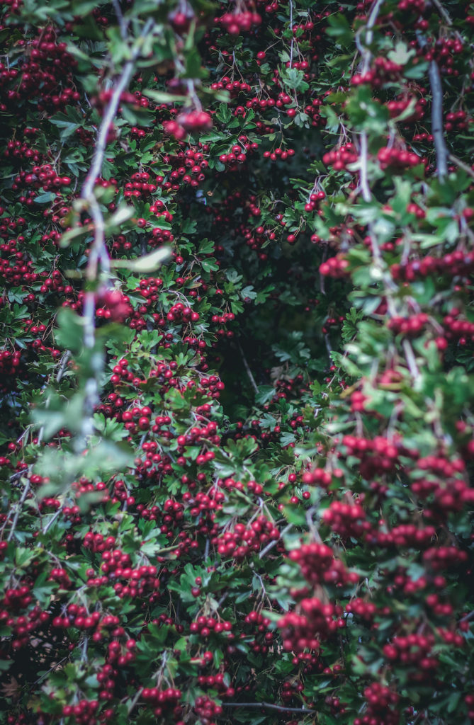 a dark heart shaped hole in a tree full of red hawthorn berries