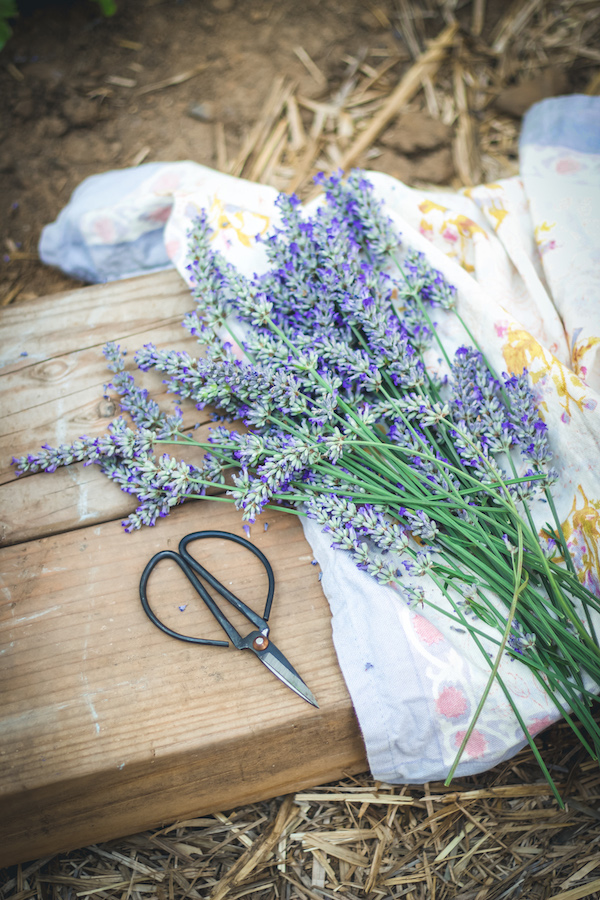 lavender herbal oil recipe
