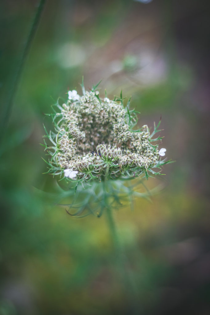queen annes lace seed