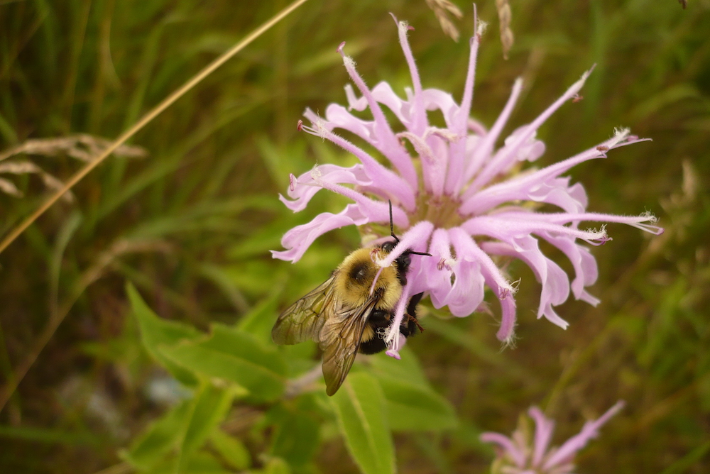 monarda with bumblebee