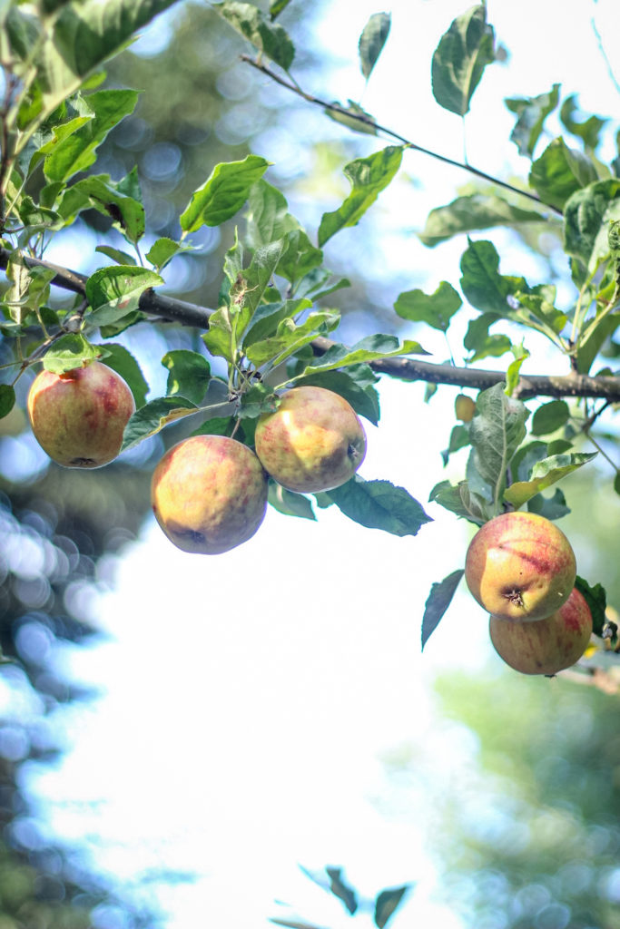 autumn apples in a tree