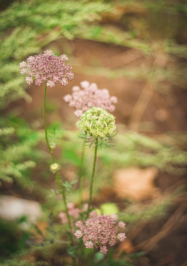 dara ami visnaga plant flowers