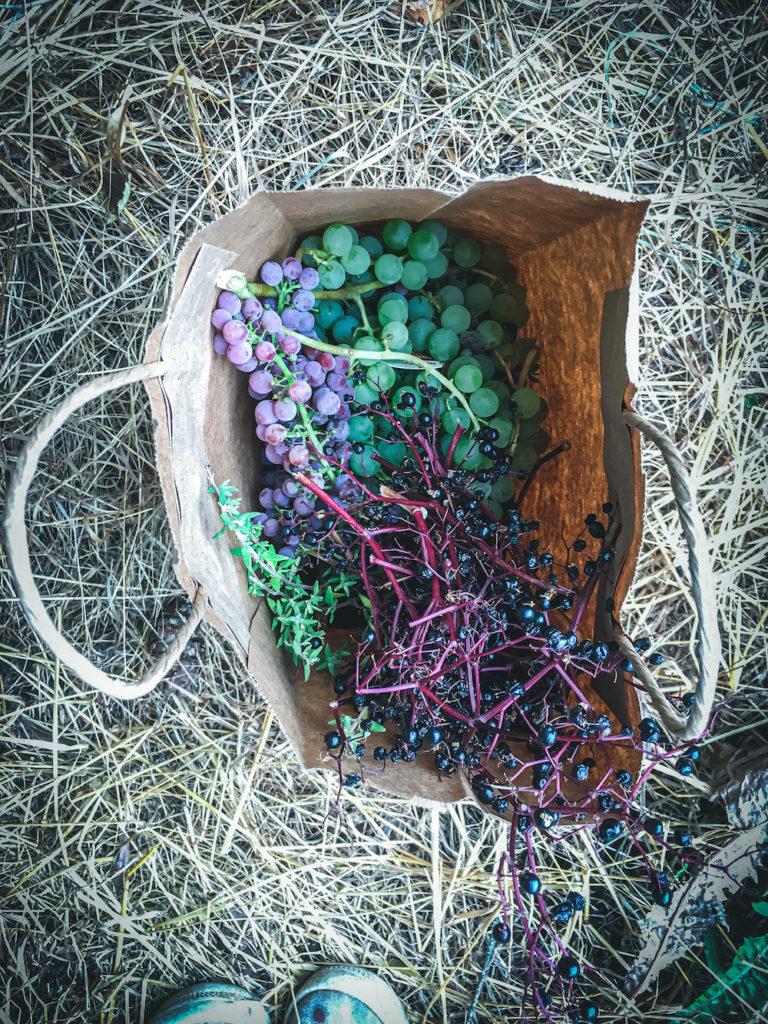 harvest bag grapes elderberry