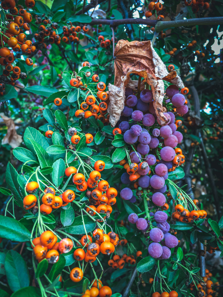 firethorn and grapes