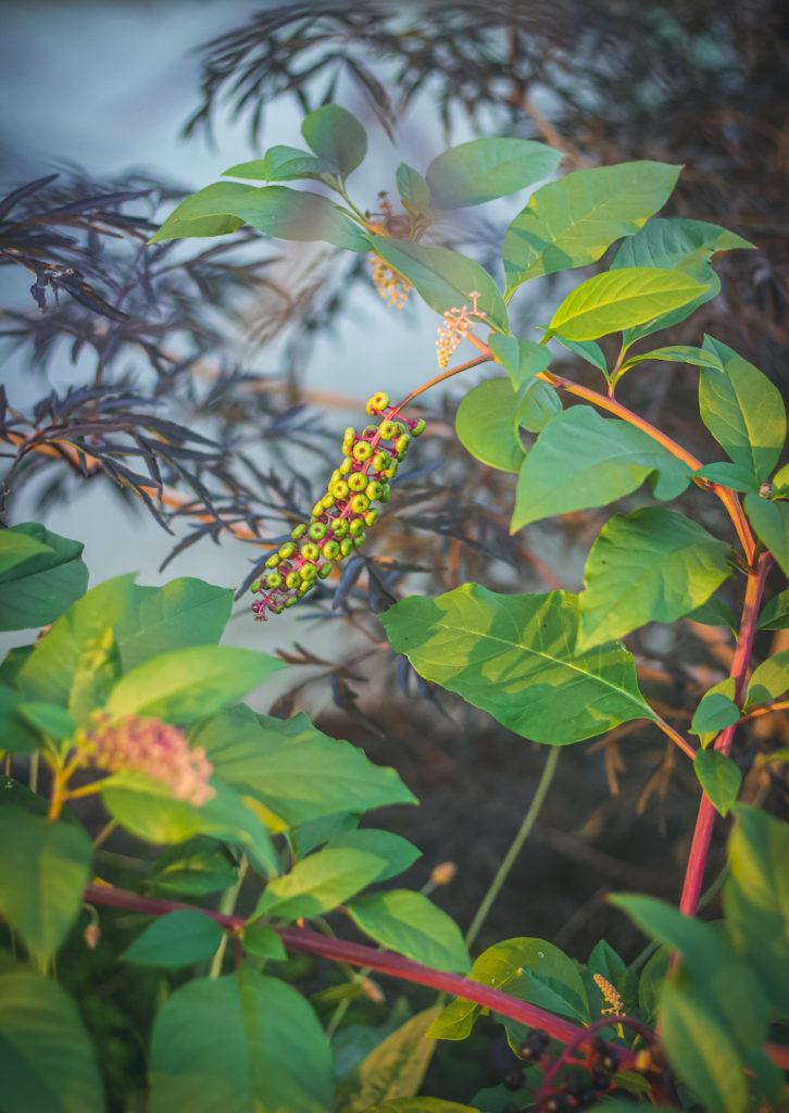 green poke berries