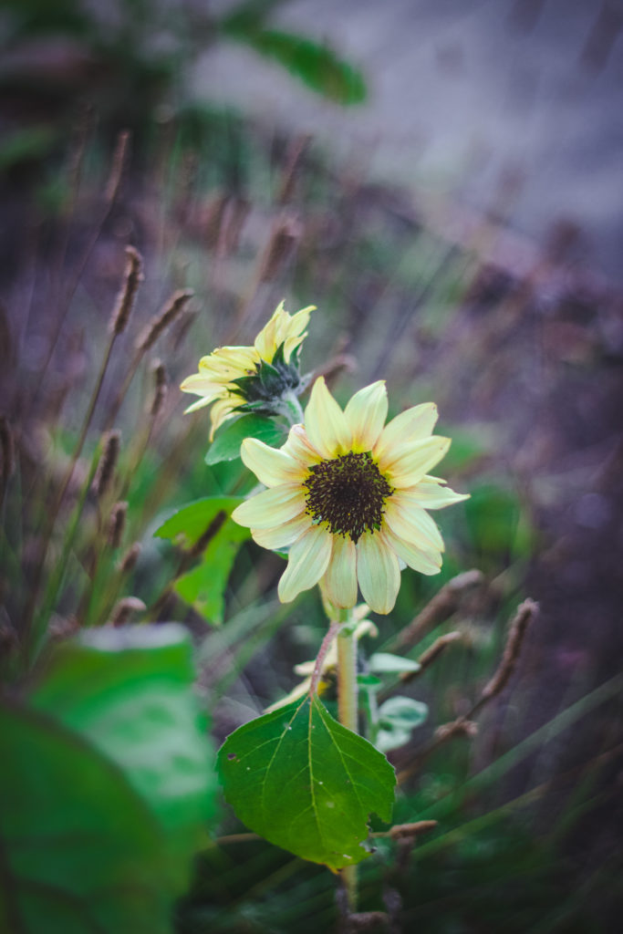 yellow sunflowers and plantain seeds