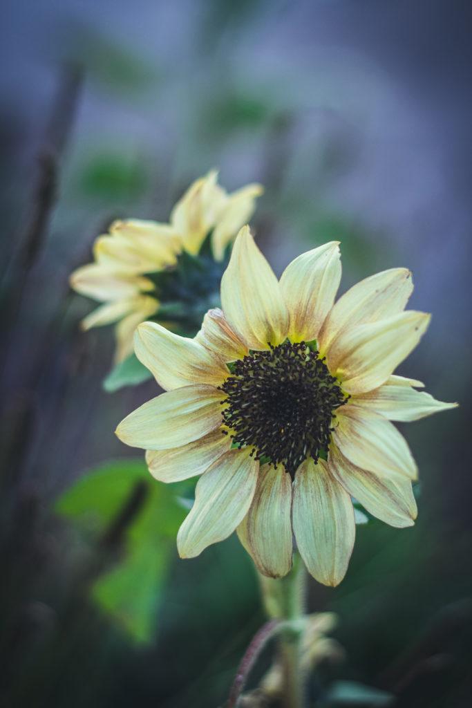 yellow small sunflowers