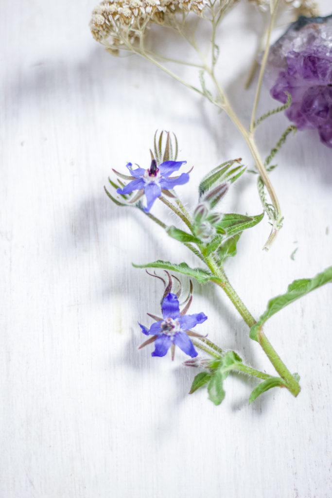 close up of borage flowers