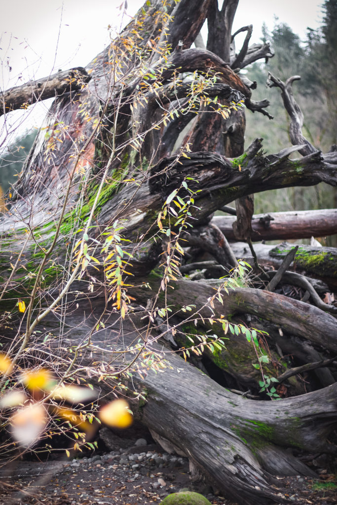 driftwood roots on sandy river bank