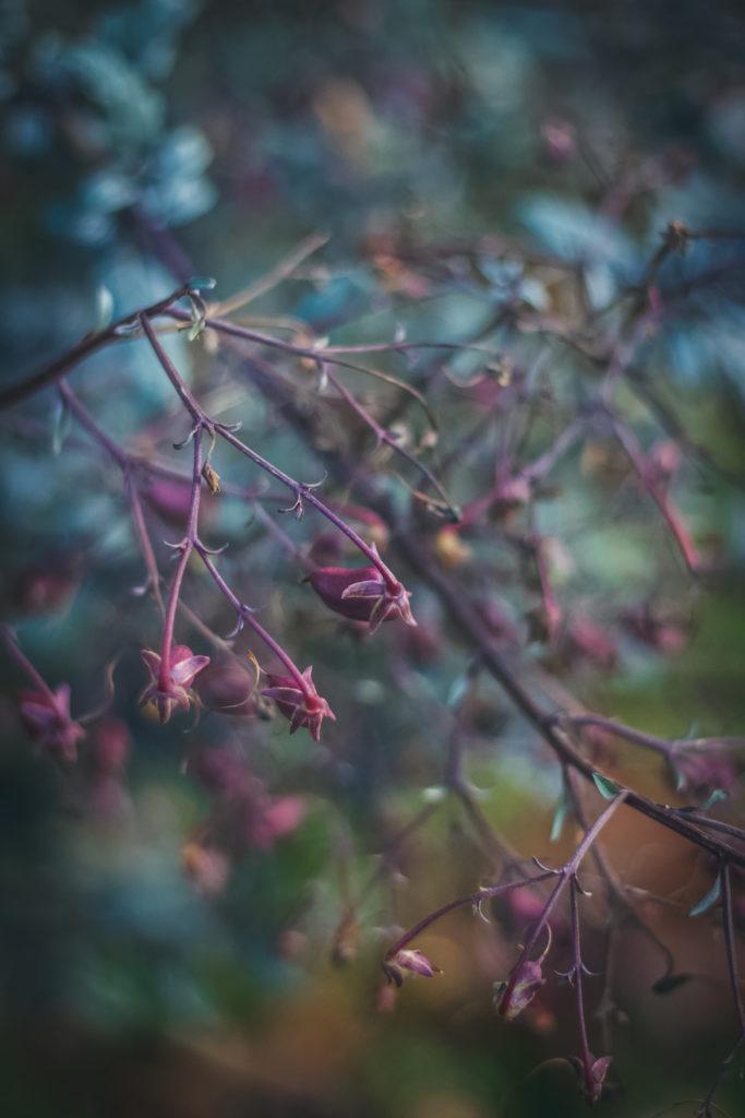 cape fuchsia seed pods in winter