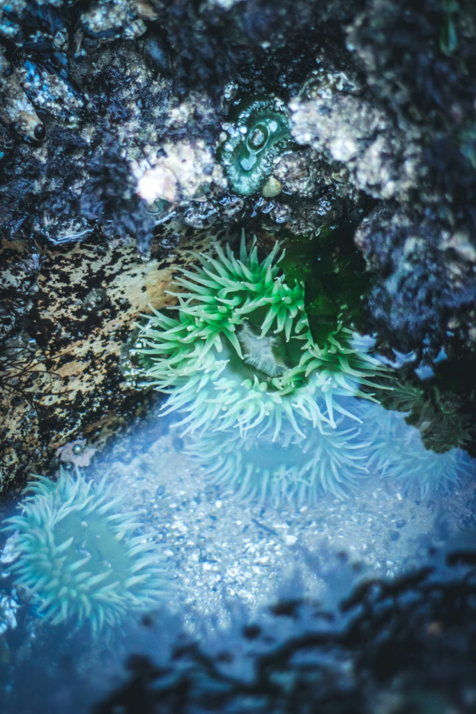 green sea anemone in a tide pool