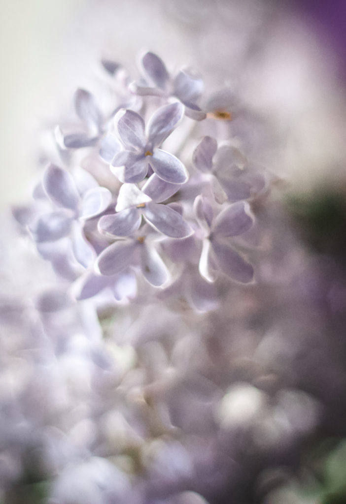 lilac flowers close up