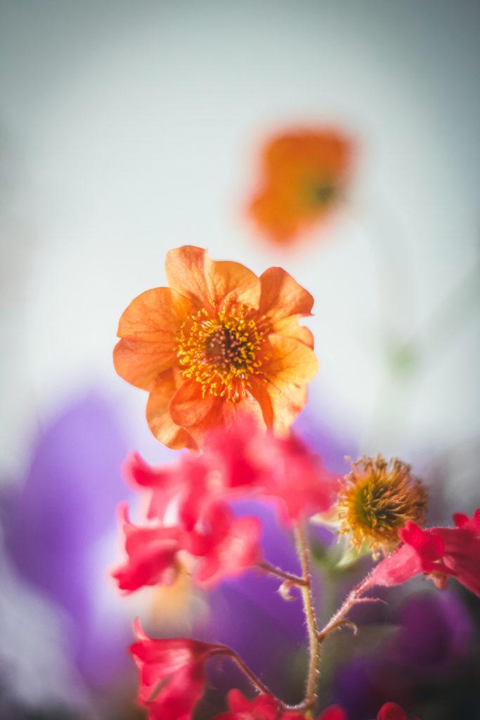 orange geum flower