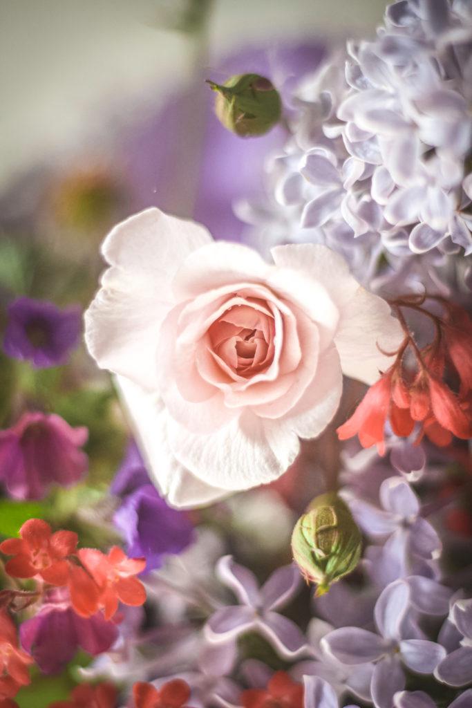 pink cecil bruner rose