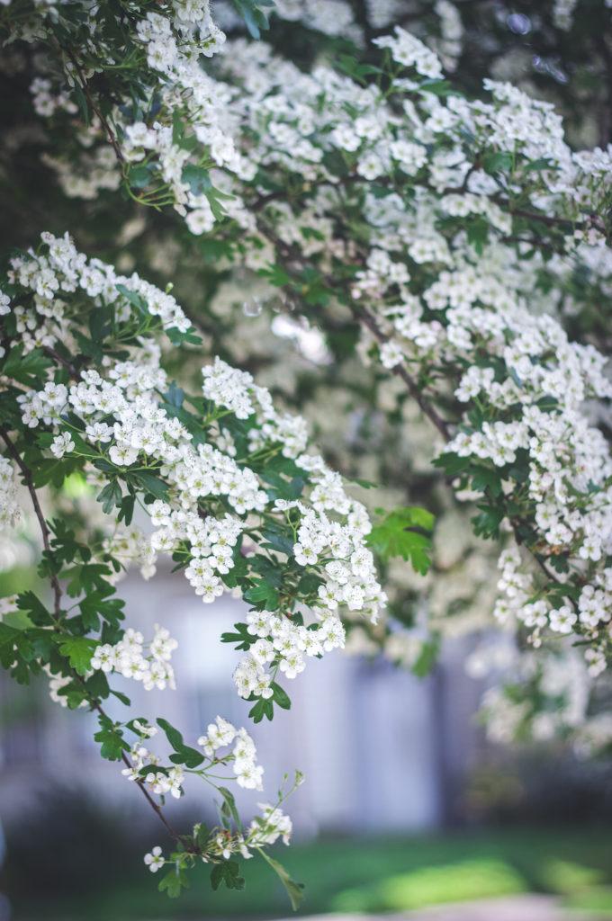 hawthorn flower branchs