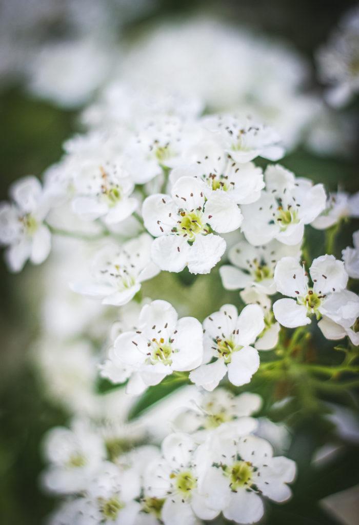 hawthorn flowers close up