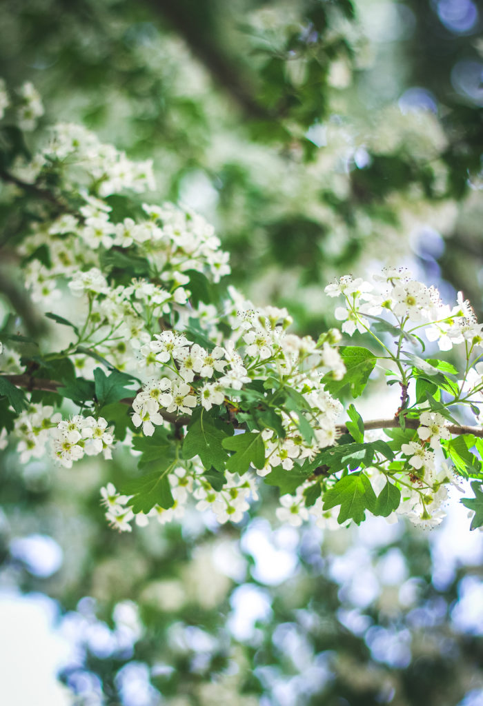 hawthorn flowers tree branch