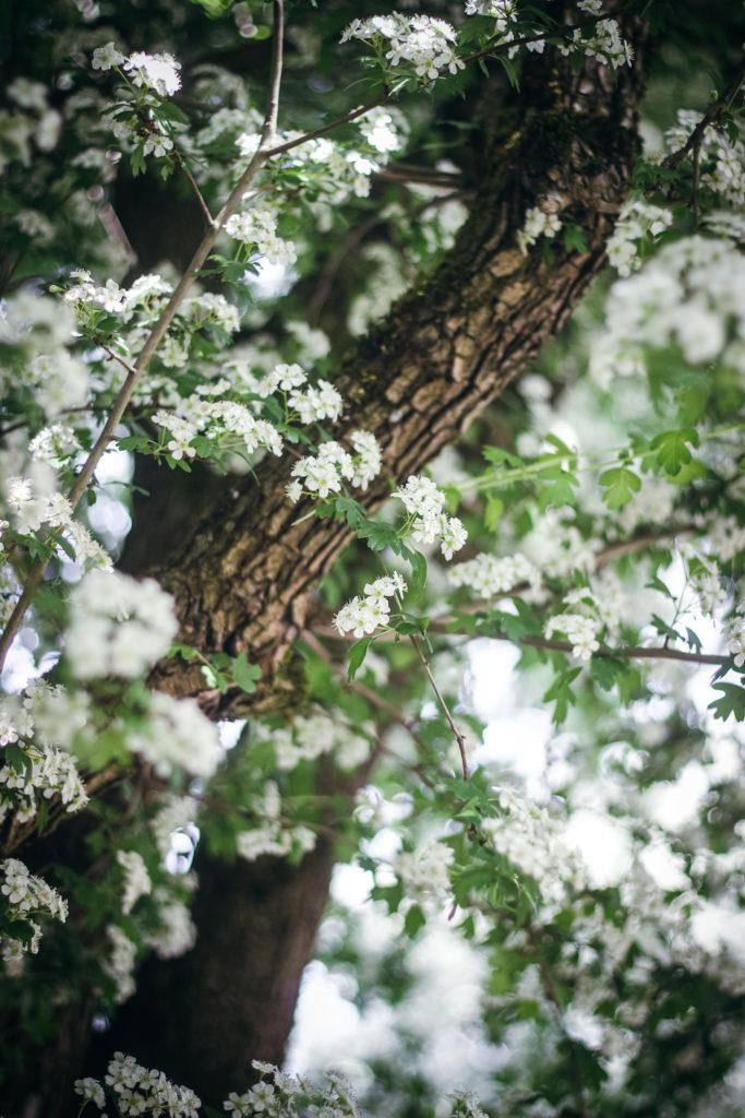 hawthorn tree in flower